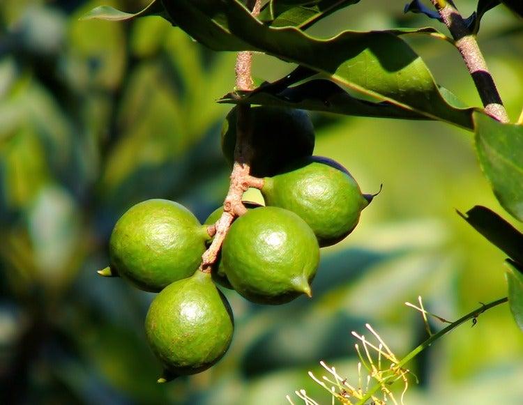 Macademia nut tree