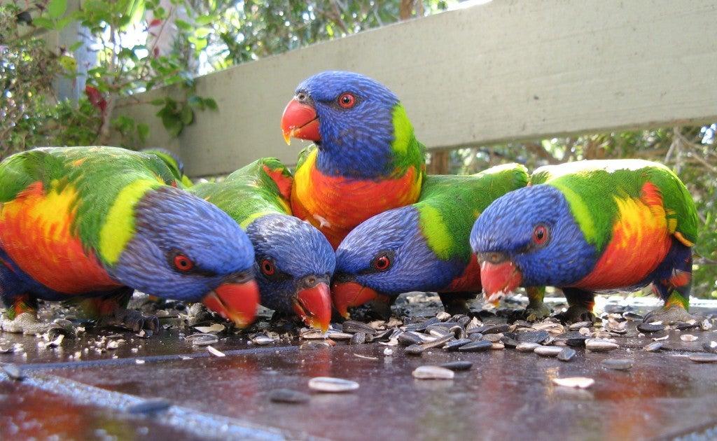 lorekeets-australia