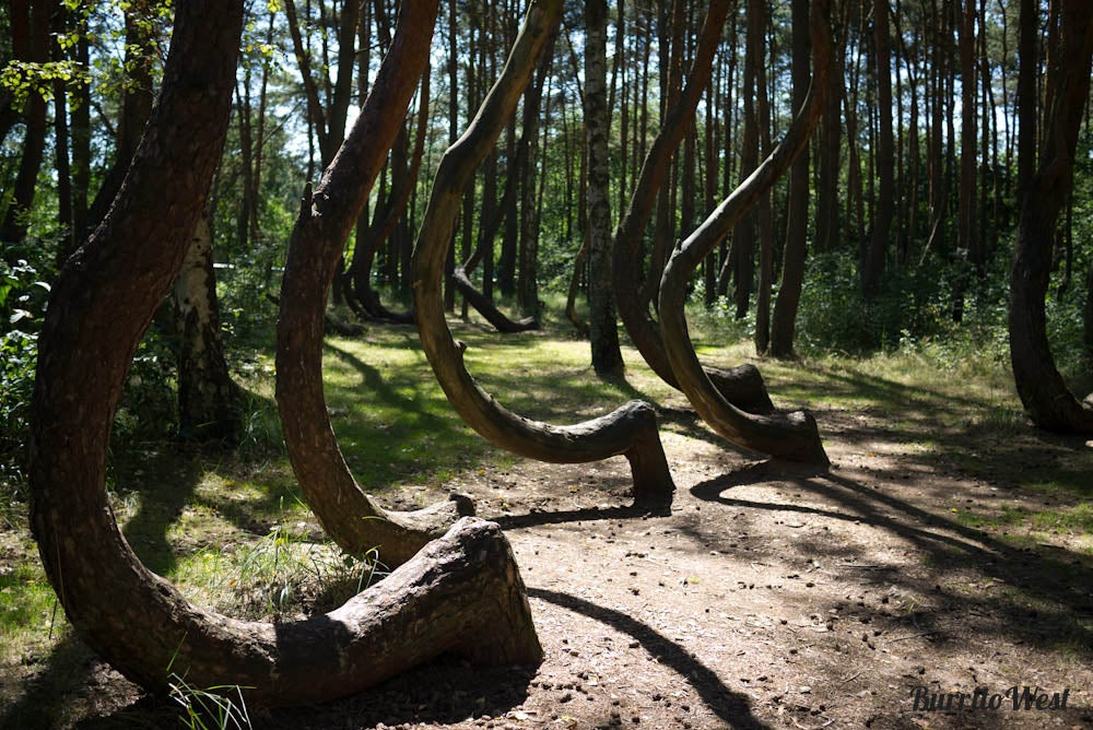 Crooked Forest in Szczecin, Poland