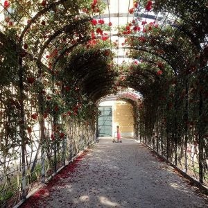roses at schonbrunn palace