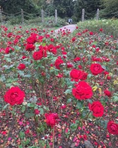 roses at queen mary's gardens london