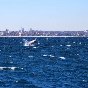a humpback whale jumps in sydney harbour