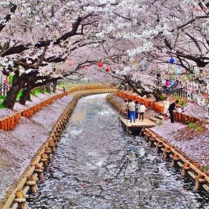 cherry blossoms by the river in kyoto japan