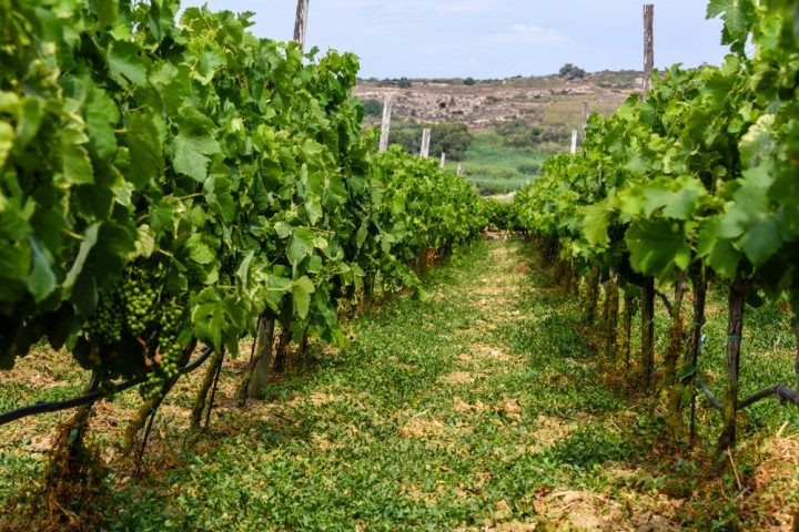 malta vineyard