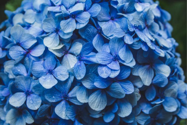 blue hydrangeas - Azores